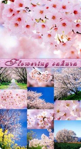 Фотоклипарт - Цветущая сакура (Flowering sakura)