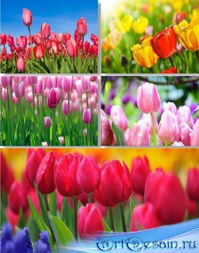 Клипарт - Милые глазу тюльпаны