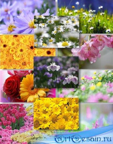 Клипарт растровый - Полевые цветы