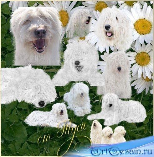 Клипарт – Собаки – белые, пушистые и красивые