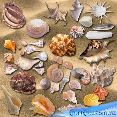 PNG Клипарт - Морские ракушки