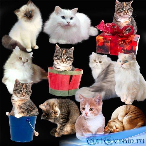 Клипарт в PNG - Красивые кошки и котята
