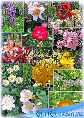 Фото клипарт - Цветы