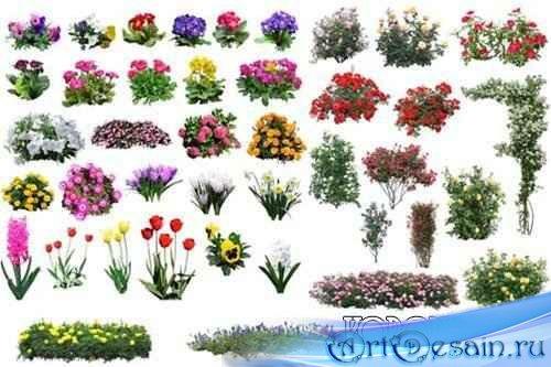 Клипарт - Цветы