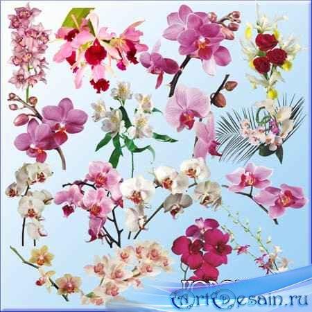Клипарт - Орхидеи