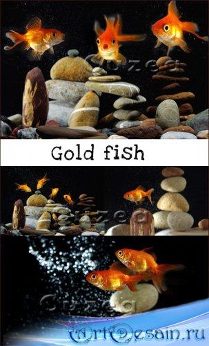 Золотые рыбки на темном фоне - растровый клипарт