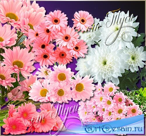 Клипарт - Хризантема - царица осенних цветов