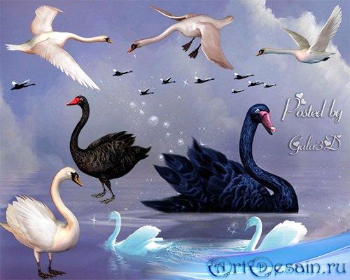 Клипарт прекрасных лебедей