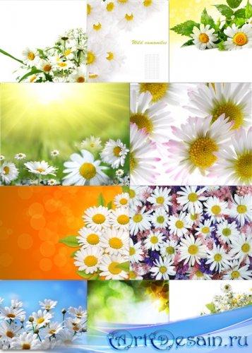 Цветочные фоны - Ромашки полевые