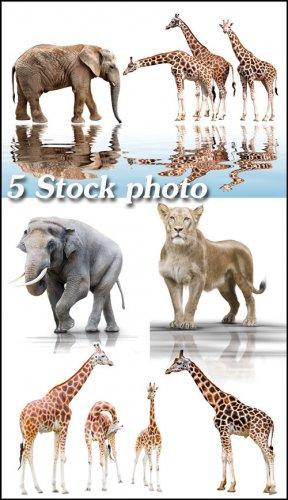 Жирафы, слоны, лев на белом фоне - растровый клипарт