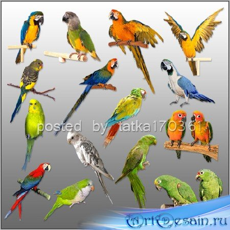 Клипарт для фотошопа - Разноцветные попугаи