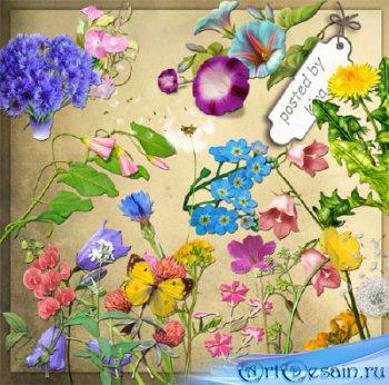 Клипарт на прозрачном фоне - Васильки, одуванчики и другие полевые цветы