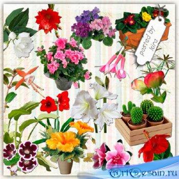 Клипарт в png - Кактусы, фиалки, гибискус и другие комнатные цветы