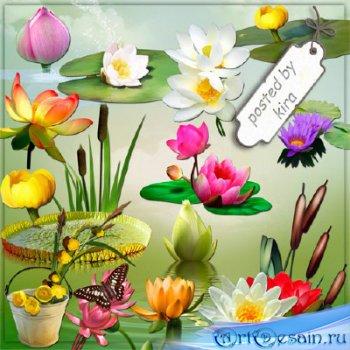 Клипарт без фона - Водяные лилии, кувшинки, цветы лотоса и камыши