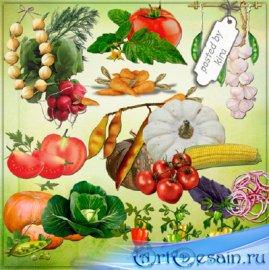 Клипарт - Овощи, часть 2