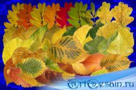 Клипарт Настоящие осенние листья - часть вторая - Рябина, осина, берёза и д ...