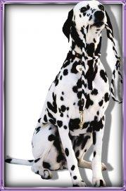 Красивые Png - Породистые собаки