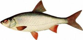 Качественные png на прозрачном фоне - Рыба водоемов