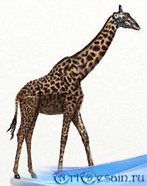 Необходимый набор клипартов на прозрачном фоне - Африканские жирафы